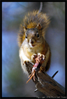 http://phototravels.net/canada/pcd2453canada/canada-squirrel-42.3.jpg